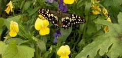 Do your bit to help us preserve the Butterflies, and join in with the Big Butterfly Count