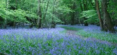 Poulton Wood Welcomes Visitors for Bluebell Cream Teas